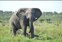   SEBAKWE - RESIDENT ELEPHANT   / The resident elephant, Sebakwe.
