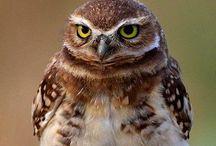 Uilen / Cute or beautiful owls