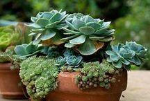 *cactus&suculentas* / .