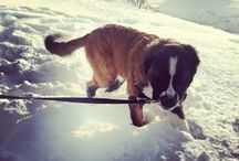 "Saint Bernard / Rescuing The Rescue Dog / Saint Totoro / Totoro the saint bernard is a one year old, ""little"" girl --- Thank you Humane Society, for caring for me, and for finding me a family who loves me dearly! …………………….. http://instagram.com/saint_totoro"