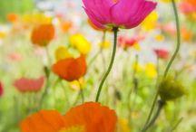 Poppies / by Arthur-Roy Varkevisser