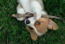 Corgi Puppies / Cuties