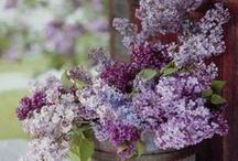 Lilacs / by Annette Switalski