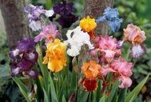 Irises - Bearded
