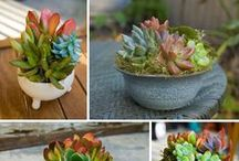 Mixed Succulent Containers / Mixed groupings of succulents in containers
