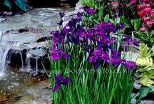 Irises - Japanese and Others