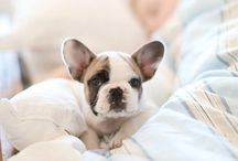 Love Frenchies / French bulldogs are adorable!!