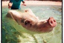 possuja -  pigs