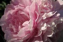 kukkia - flowers / monenlaisia ihania kukkia