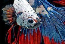 Betta fish & Aquarium