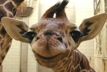 Giraffes! / by Alyson Wilbers
