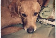 Sadie Sue Shagbottom / My rescue. Miss Shagbottom is an attitude rich Golden Retriever/Yellow Labrador mix. B. Jan 10, 2010 p. April 14, 2018.  Star of Shagbottom Theater and The Liberal Labrador