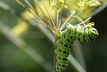 Butterflies & Caterpillars / by Redding Garden Club