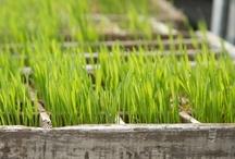 Wheat Grass / Cat Grass