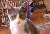 Otis / Beloved bookstore cat at Loganberry Books