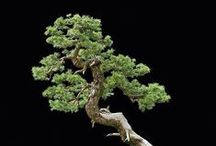 Bonsai / Bonsai is the ancient Chinese art form of growing small trees