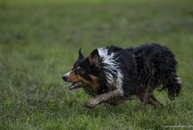 Border Collie Raff / Dogs