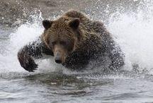 Bears / by ron harvey