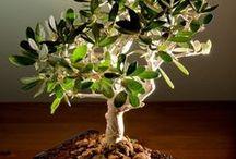 Bonsai / by Mary Volarich
