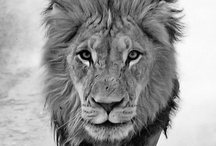 Felinos / leões, tigres e gatos