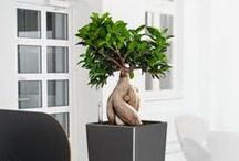 Bonsai plants for offices / The Ficus Microcarpa Ginseng plant is a Bonsai like tree that is 8-10 years old and can be supplied as a large floorstanding display or a small desk top display.