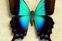 Butterfly / Kelebek