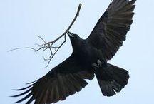 Karga / #karga #raven #kuzgun #alakarga #saksağan #corbo #crow