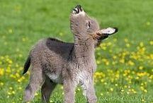 Donkey / #merkep #eşşek #burro #donkey #baudet #âne