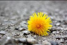 Dandelion / Porque cuando era pequeña Papá preguntaba, Alexia ¿diente de leon?, y yo respondía feliz al saber la respuesta: ¡taraxacum officinale! Porque su raíz y sus hojas son diuréticas, buenas para el hígado, la vesícula y el reuma. Porque el elixir de su flor proporciona alivio y relajación a cuerpo, mente y alma Porque es divertida, alegre, preciosa....... Uno más de los tantos regalos que la Madre Tierra nos brinda desinteresadamente <3