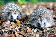 Hedgehogs - our prickly friends need our help / At least half of Britain's hedgehogs — and possibly as many as two thirds — have vanished in 15 years, according to a report. At Thakeham we don't want to see this happen and are looking into hedgehog hotels and hedgehog holes for fenced areas of our new homes.