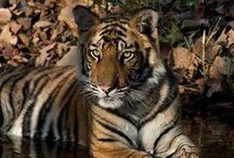 Wildlife in India / India is a fantastic place to see wildlife. Here is a snapshot of what you can see   http://www.mantrawild.com.au/