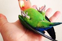Love Bird / Son