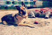 active with dog / dog, dogs, German Shepherd, sport, SUP, SUP board, SUP with dog, DOG SUPing