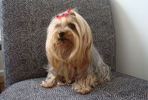 Yorkshire Terrier / My beautiful Yorkie Coco