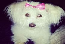 Maltese Poodle LOVE  / My little dog...my heartbeat at my feet.