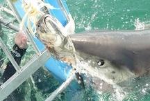 Shark Diving spots