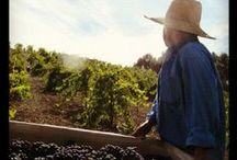 Tablas Creek Harvest / The fruit of the labor