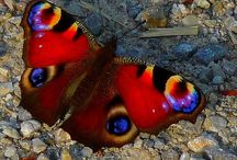 Butterfly's and Moth's / Vlinders en Motten