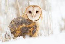 Birds - Owls / by Sue Thompson