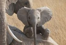 Animals - Elephants and Giraffes / by Sue Thompson