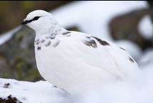Winter around Scotland / Scotland can look particularly stunning in winter, and what a backdrop for some of our favourite species.