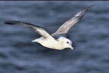 Scotland's seabirds / Seabirds around Scotland's coast