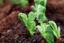 Vege Garden Patch! / Just a little gardening and homegrown board.