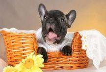 Dog and Сat / Собака и Кошка-Dog and Cat. Французские бульдоги, собаки различных пород, щенки, чемпионы, вязки. Кошки и котята. Все вокруг животных.