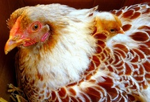 Animals - Chickens / Chickens make me smile. / by Nysha Key