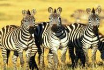 ÁFRICA DO SUL / A África do Sul é um país ensolarado e de contrastes. Rico em diversidade cultural, étnica e em recursos naturais. É o principal produtor mundial de ouro e possui inigualáveis parques para safáris. As reservas naturais, as paisagens exuberantes e as praias são as principais atrações turísticas.  São muitas coisas para ver e fazer: Sun City, Kruguer Park, Cape Town, Knysna, Hermanus, Port Elizabeth, e Johannesburg.  Difícil, na África do Sul, é escolher o melhor roteiro para sua viagem !