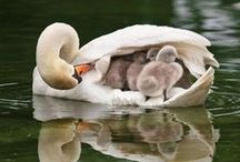White cuties / Swans swans and swans