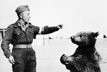 Wojtek / Wojtek (1942–1963; Polish pronunciation: [ˈvɔjtɛk]) usually spelled Voytek in English, was a Syrian brown bear found in Iran and adopted by soldiers of the 22nd Artillery Supply Company of the Polish II Corps. He was later officially enlisted as a soldier of the company with the rank of Private, and subsequently became a Corporal. During the Battle of Monte Cassino, Wojtek helped move crates of ammunition. (from Wikipedia)