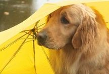 Golden Retriever / For me is the most wonderful dog in the world :) I had one sometime ago...I will love him forever..