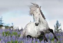 Konie <3 / Jak tu nich nie kochać ?! Silne, piękne, dla mnie wręcz majestatyczne.. :) <3